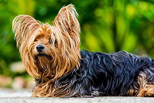 Pittura fai da te con i numeri per adulti carino Yorkshire Terriers animale domestico cane animale per principianti su tela pittura 40*50cm