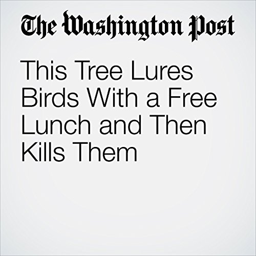 This Tree Lures Birds With a Free Lunch and Then Kills Them copertina