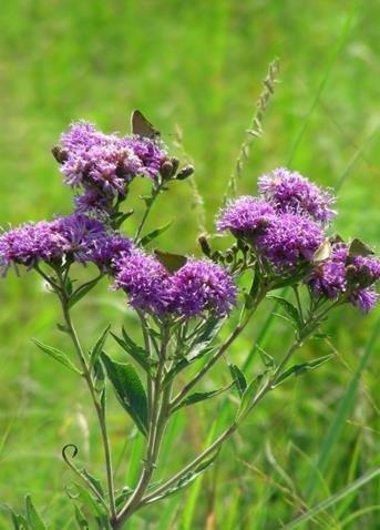 New York Ironweed (Vernonia noveboracensis), Seed Packet, True Native Seed