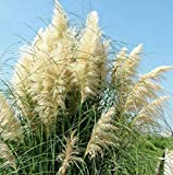 """200+ White Pampas Grass Seeds Cortaderia Selloana Ornamental Flower Garden Plants PLANT SEEDS: When soil temp warms to 70F; BLOOM TIME: Late Summer HARDINESS ZONE: 7 - 10; PLANT HEIGHT: 96 - 144""""; PLANT SPACING: 24 – 36"""" LIGHT REQUIREMENTS: Sun – Par..."""