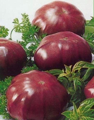Portal Cool 100 Samen: 20/100 Tomatensamen - (Chyornyi Slon) Russisch Erbstück Gemüse