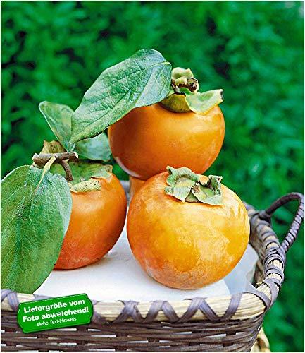 BALDUR Garten Winterharte Kaki, Sharon-Frucht 1 Pflanze Diospyros kaki
