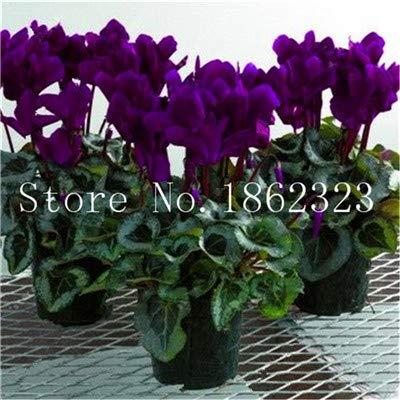 Pinkdose 100 Stücke Alpenveilchen Blume Bonsai, Indoor Topfpflanzen, mehrjährige Blütenpflanzen Alpenveilchen Blume Pflanze für Balkon Garten Bonsai: 14