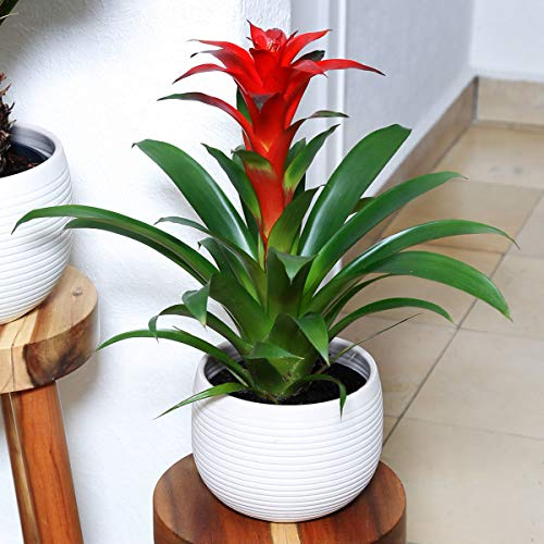 Qulista Samenhaus - Rarität 50pcs Rosa/Rot/gelb Guzmania Exotische Ganzjahresblüher Zimmerpflanzen Blumensamen winterhart mehrjärhig