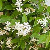 Trachelospermum'Star of Venice'   2er Set Sternjasmin   Winterhart   Kletterpflanze mit weißer Blüte   Höhe 65-75cm   Topf-Ø 14cm