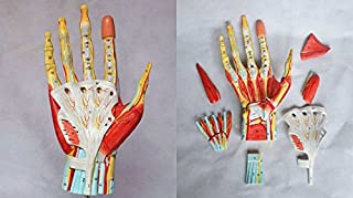 Medical Anatomical Hand Skeleton Model with Ligaments, Muscles, Nerves and Arteries, 7-Part, Life Size