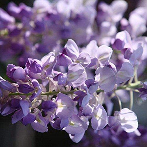 Semillas de flores de Wisteria - BESTGIFT 20 piezas Semillas de plantas ornamentales al aire libre Amethyst Falls Wisteria Vine Live Plant