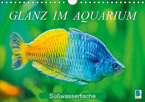 Glanz im Aquarium: Süßwasserfische (Wandkalender 2021 DIN A4 quer): Aquarium: Prachtregenbogenfisch, Marmorskalar & Co. (Monatskalender, 14 Seiten ) (CALVENDO Tiere)