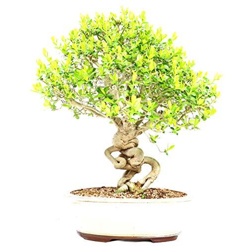 Ligustro, Ligustrum obtusilolium, bonsai da esterno, 17 anni, altezza 33 cm