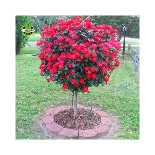 Rose Trees Amazon Com
