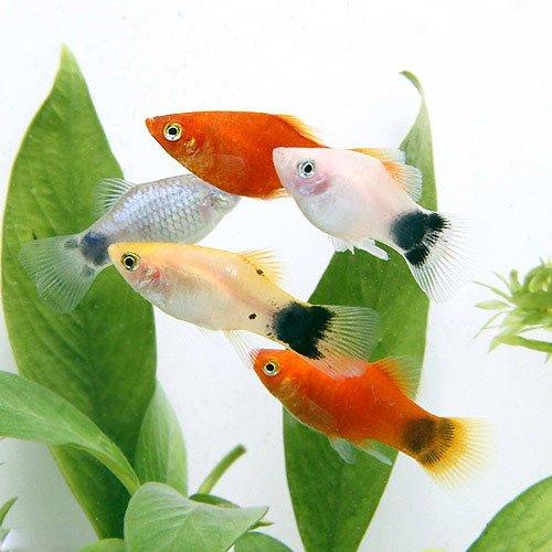 (熱帯魚)ミックスプラティ(4匹) 本州・四国限定[生体]