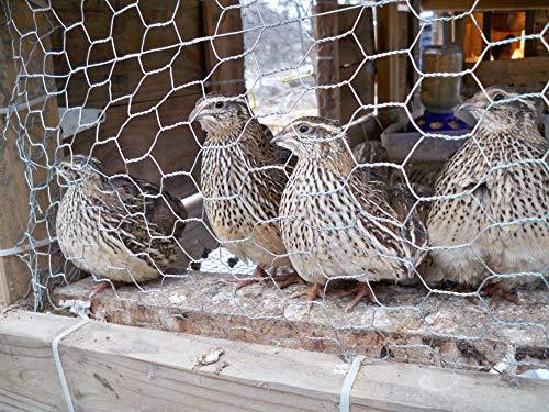 Fertile Coturnix Quail Hatching Eggs (24 Eggs)