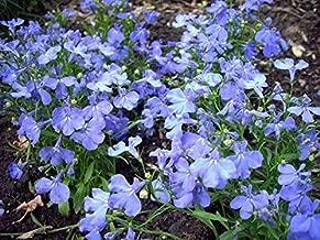 50 Seeds Riviera Pelleted Lobelia Sky Blue Flower Multi #MRB01