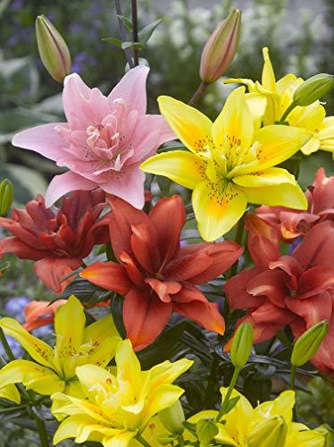 12x Lilien \'Doppelt asiatisch mischung\' - Blumenzwiebeln aus Holland - 100{23649c10e4ef77a4b3361bbddb34dd20189187803cccae1b4b5b410e207fceff} Blühgarantie - Farbe: Mischung - Höhe 100-150 cm