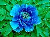 Alick 10 semillas de flor de peonía azul