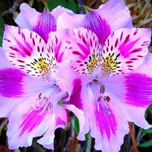 Lily Samen, Warm 250Pcs / Bag Lily Samen Bevorzugen Natur Leuchtende Farbe Lilien-Blumen-Samen für den Garten
