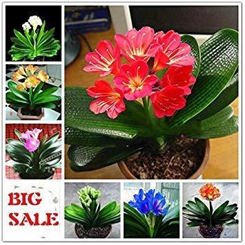 Vistaric 50 pcs Pas Cher Clivia Graines Belles Plantes Pour Balcon Bonsaï Rare Fleur Graines Vivace Kaffir Lily Jardin Décoration Sementes Blanc