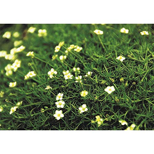Sagina 'Irish Moss', dunkelgrün - Sternmoos winterhart im Topf 12 cm in Gärtnerqualität von Blumen Eber - 12 cm