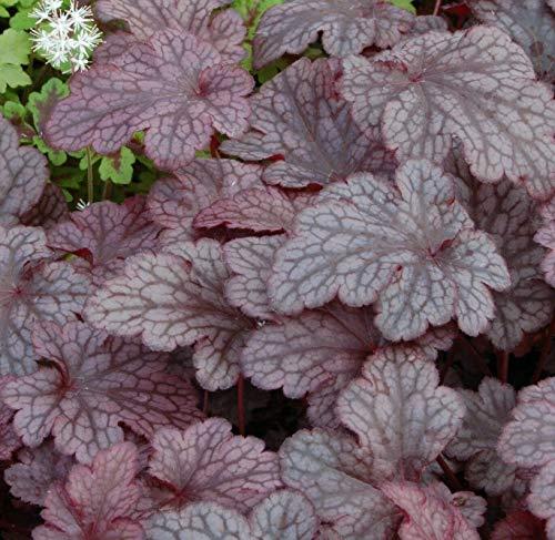 Live Plant - Heuchera Plum Pudding Colorful Purple Coral Bells - 2.5