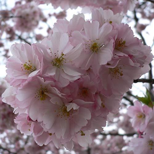 Müllers Grüner Garten Shop Japanische Säulenkirsche Prunus serrulata Amanogawa hellrosa blühend 60-100 cm Pflanze im 5 Liter Topf