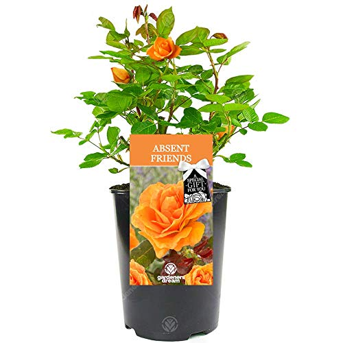 Absent Friend Rose - Say Goodbye to Someone Special with a Unique Living Plant Gift