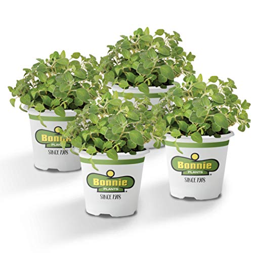 Bonnie Plants 4P5081 Italian Oregano (4-PACK),