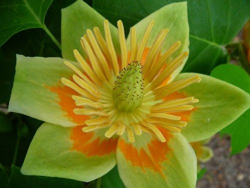 Tulpenbaum (Liriodendron tulipifera) 10 Samen Winterharter Zierbaum