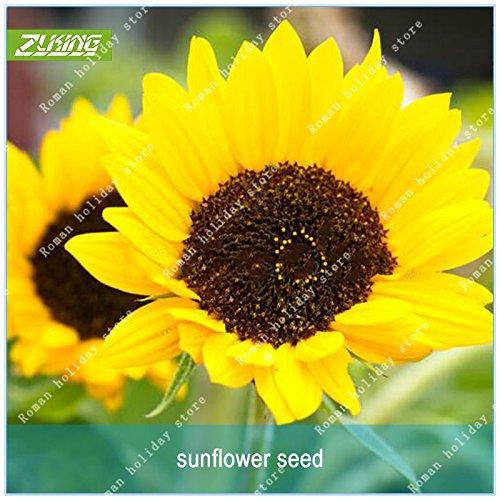 ZLKING 20 Graines de tournesol bio Helianthus annuus Graines d'ornement semences de fleurs Tournesols de plantation pour jardin Big Bonsai