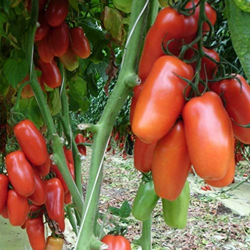 Pomodoro San Marzano rampicante (Semente)