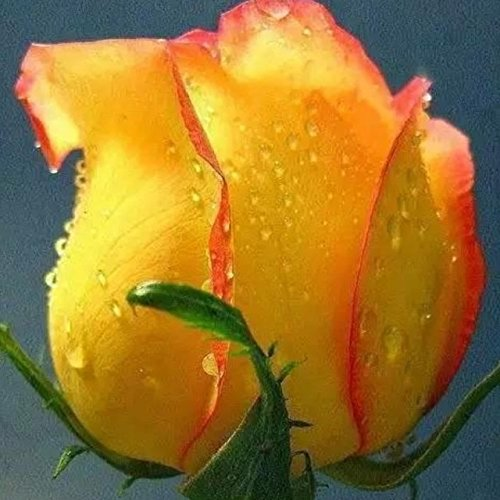 150PCS Rose Flower Seed Hollande Rose Graines amant cadeau arc-RARE 25 exotiques couleurs au choix de bricolage pour les plantes de jardin à la maison 24