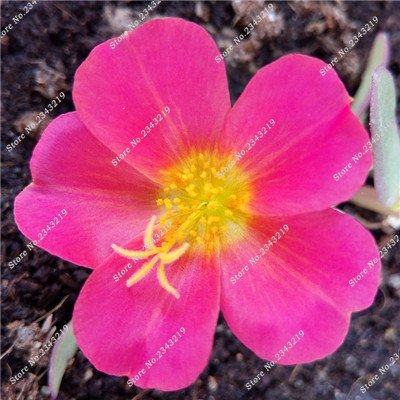Portulaca Seed, Moss-rose Pourpier Plantes d'intérieur Fleurs doubles semences Balcon et cour Bonsai Seed en herbe Taux 95% 120 Pc 4