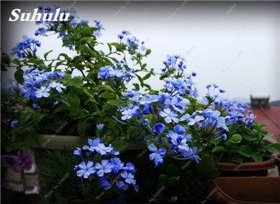 50 Pcs Arabis Alpina neige Graines de pointe extrême froid résistant jardin Bonsai Rare Belle plante et mur fleur Arabette 9