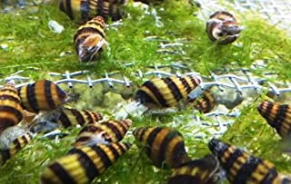assassin snail and shrimp
