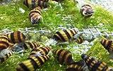 5 Assassin snails ( moss - shrimp - driftwood -...