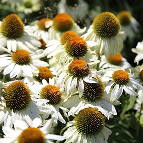 tomgarten Sonnenhut 'Alba' | mehrjährig | weiß | Bienenfreundliche Blume | 3 Pflanzen