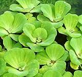 Muschelblume - Wassersalat - Grüne Wasserrose/Pistia stratiotes