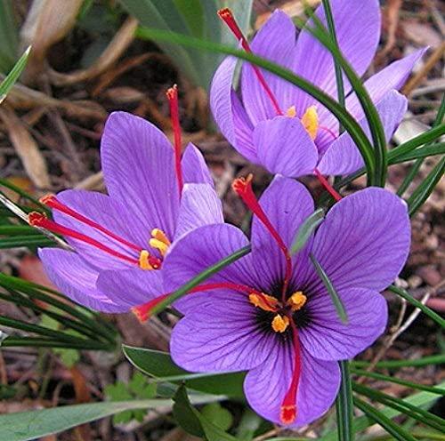 5 Piezas Azafrán Crocus Bulbos ¡Florece El Otoño Cultiva Tu Propia Especia De Azafrán (Crocus Sativus)! ¡Plante Ahora Para Las Flores De Otoño!