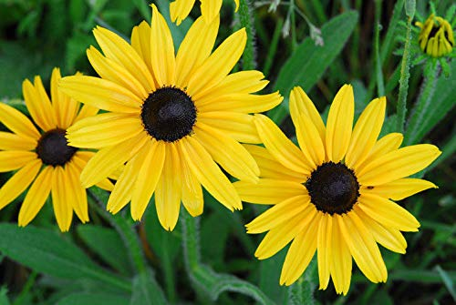 Portal Cool 100 Samen/Samen: Rudbekia Hirta Black Eyed Susan 100 Selected Seeds