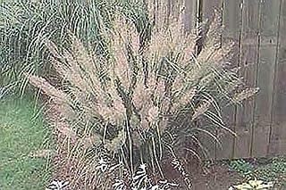 Ornamental Grass Seed - Calamagrostis Brachytricha Seeds