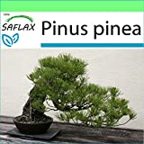 SAFLAX - Garden to Go - Pinos piñoneros - 6 semillas - Con macetero de barro, platillo, sustrato para cultivo y fertilizante - Pinus pinea