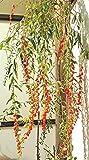 Potseed 50 Semillas seleccionadas Bayas de Goji - Wolfberry