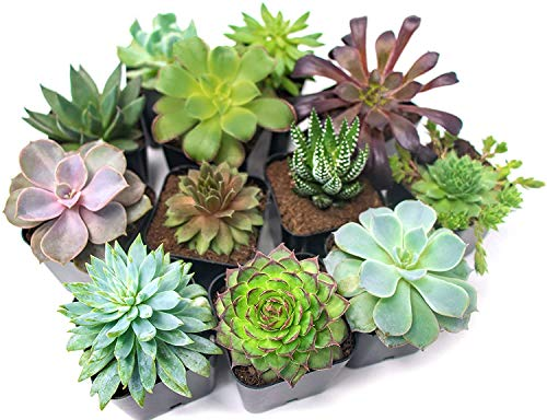 Succulent Plants (12 Pack) Fully Rooted in Succulent Planter Pots with Succulent Soil | Real Live Potted Succulents | Indoor Plants | Unique Live Plants | Cactus Decor Succulent Pots by Aquatic Arts