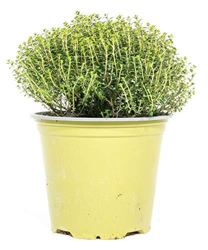 mgc24 Thymian Faustini, echte frische Kräuter Pflanzen im 14cm Topf, Thymus richardii, Höhe ca. 15cm