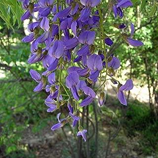 PLAT FIRM Germination Seeds:25 Seeds Bolusanthus speciosus, Wisteria Tree, Tree Wisteria Seeds