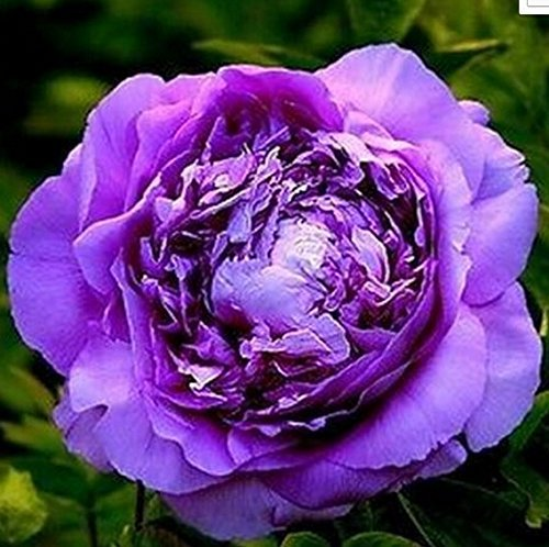 Neue Ankunft! Eine Vielzahl von Farben und seltene Chinesische Pfingstrose Samen Einpflanzen von Blumen und Garten Paeonia Suffruticosa Seeds 20 PCS G58 Lila