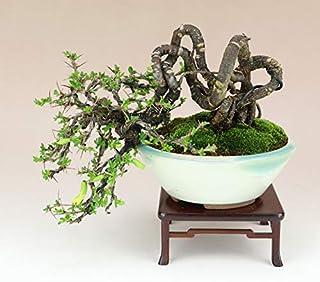 群雀/ムレスズメ 根上り 小品盆栽(いよじ園)