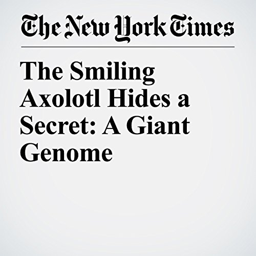 The Smiling Axolotl Hides a Secret: A Giant Genome copertina