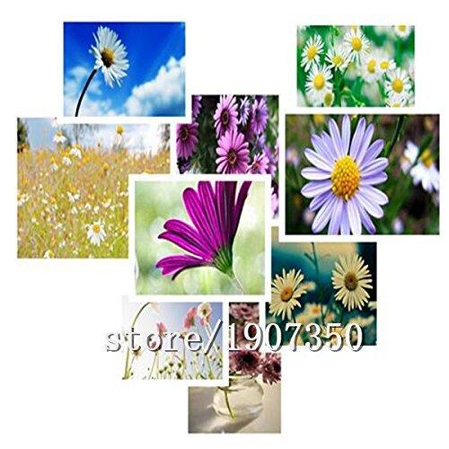 Les graines de marguerite de vente Big Hot vente (couleurs mixtes) fleurs bonsaï maison de bricolage de jardin