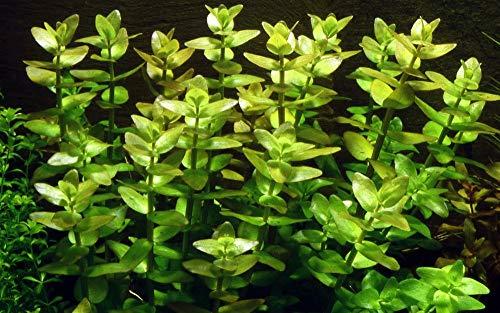 Tropica Aquarium Pflanze Bacopa caroliniana Nr.043 Wasserpflanzen Aquariumpflanzen