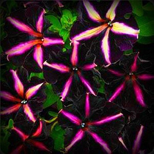 Deep Purple Blumensamen 200pcs / bag selten Petunie Samen
